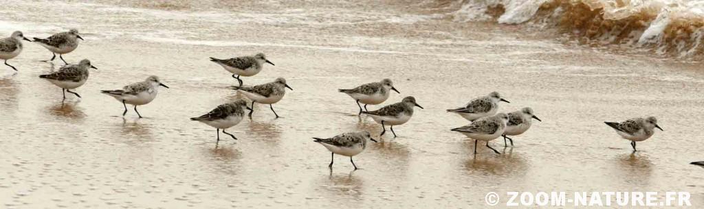 becasseau-sanderling-bandeau