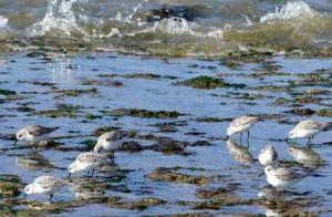 becasseau-sanderling3