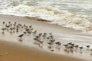 becasseau-sanderling4