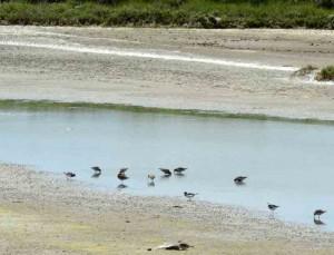 becasseau-sanderling6