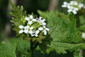 alliaire-fleurs