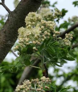 cormier-fleurs