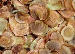 gentiane-jaune-graines