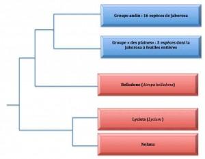 jaborosa-phylo