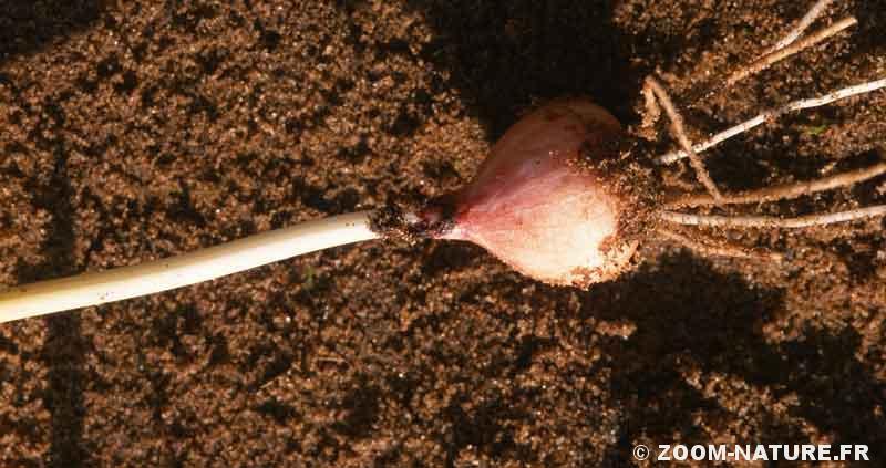muscari-toupet-bulbe