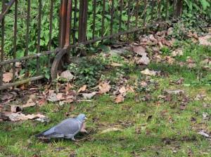 pigeon-ramier-2