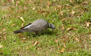 pigeon-ramier-4
