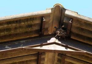tourterelle-turque-nid