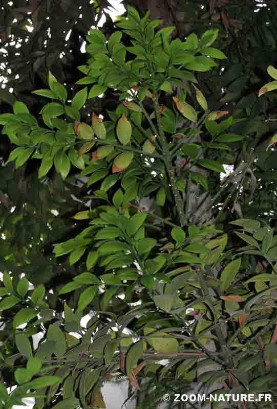 wollemia-agathisrobusta