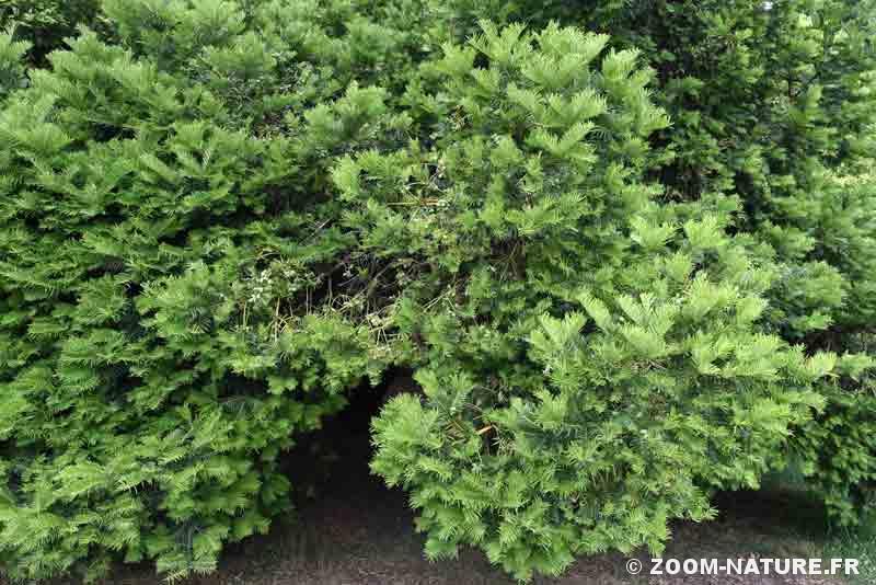 wollemia-cephalotaxus