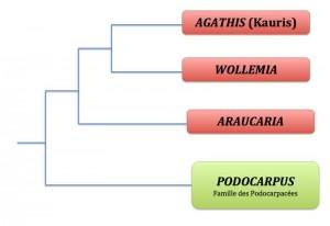 wollemia-phylogenie
