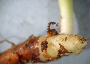 Dès avril, le bourgeon terminal ddu rhizome qui donnera la feuille de l'année suivante est bien formé.