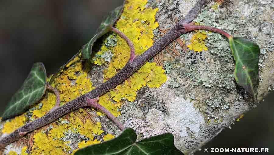 lierre-lichens
