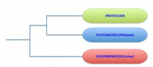 arbre-proteales