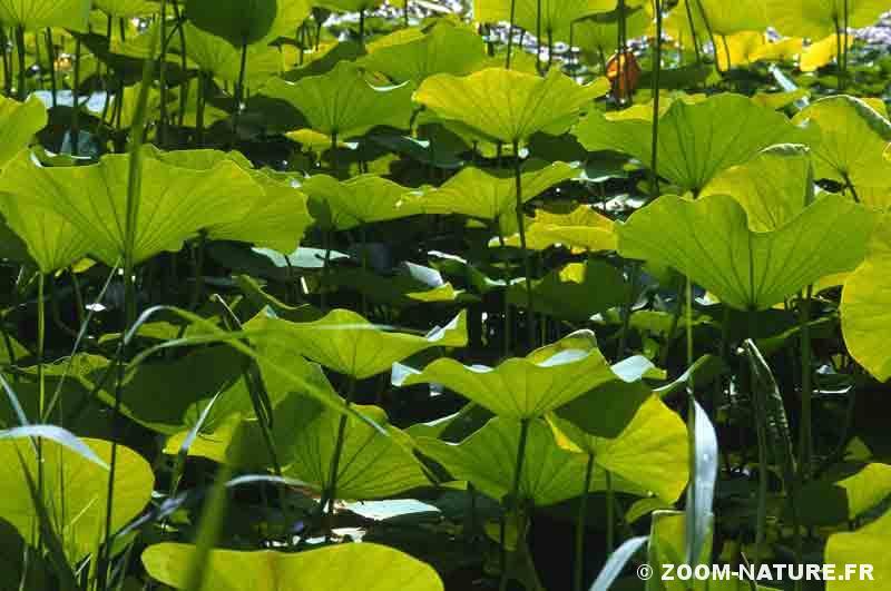 lotus-feuilles-foret
