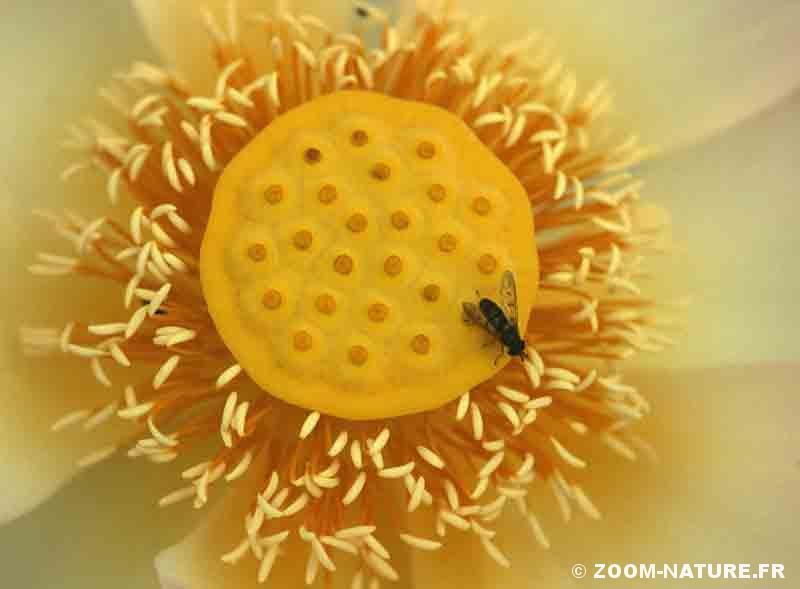 Lotus Visite Guidee D Une Sacree Fleur Zoom Nature