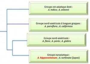 marronnier-arbrephylo