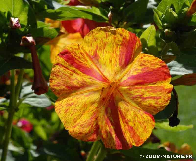 La Vie Chronometree Des Fleurs Des Belles De Nuit Zoom Nature