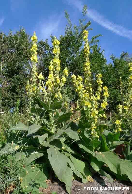 """Au coeur de l'été, les """"cierges fleuris"""" de la molène à épi dense arborent leurs centaines de fleurs."""