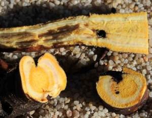 En coupe, la racine présente une teinte jaune safran très typique et qui traduit la présence de substances toxiques colorées.