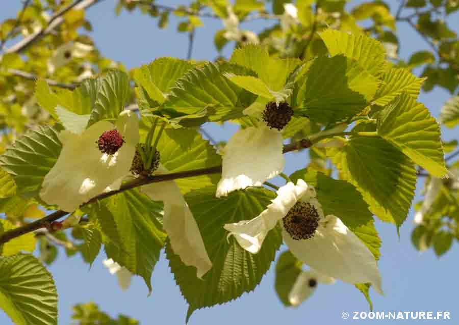 davidia-fleurs