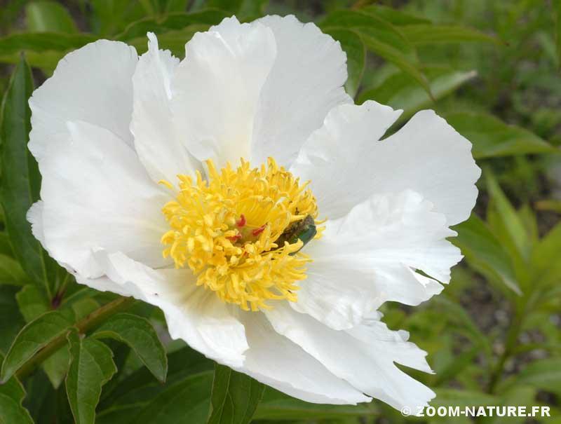 Les Pivoines Des Fleurs Inclassables Zoom Nature