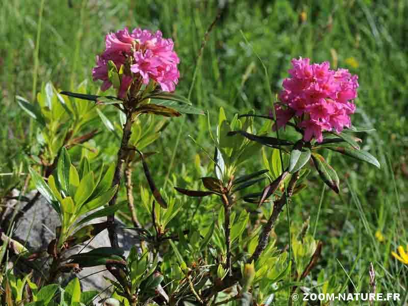 Les galles champignons des airelles et des rhododendrons - Rhododendron ne fleurit pas ...