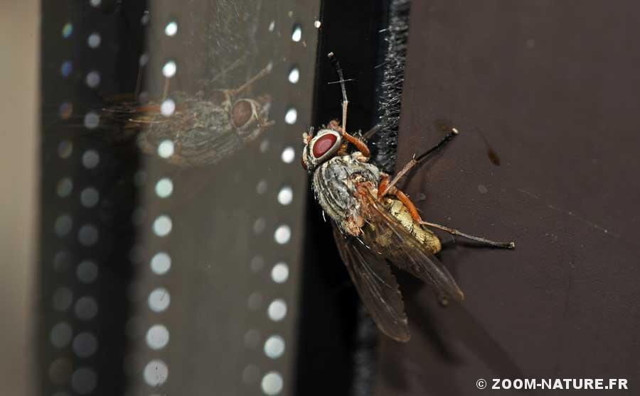 entomop-musca