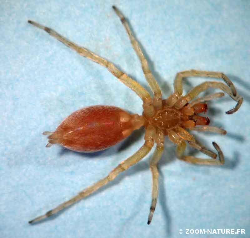 Faucheux Araignée les faucheux ne sont vraiment pas des araignées   zoom nature