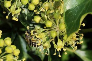 asterm-colletes