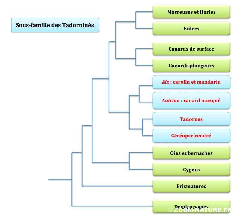 arbre-anatides