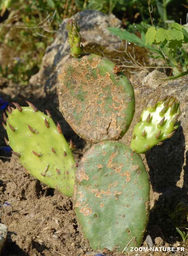 cactus-aurev