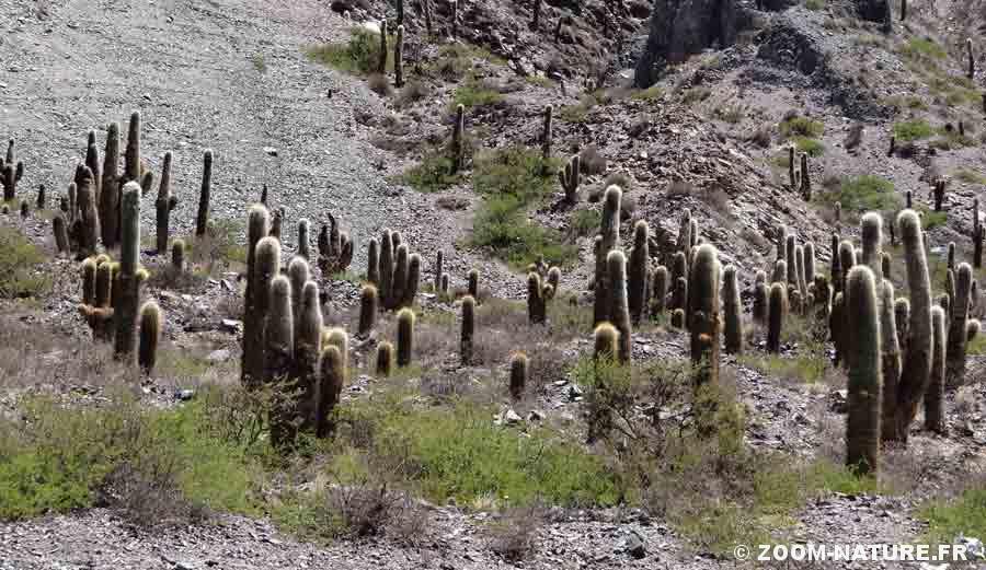 cactus-cardon