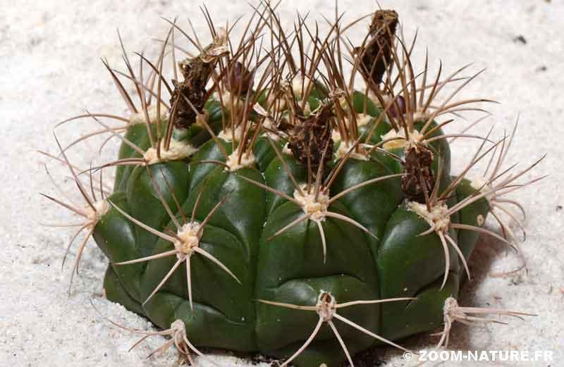 cactus-epinpano