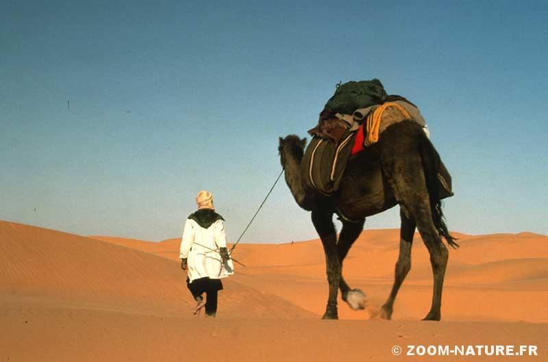 camel-amble