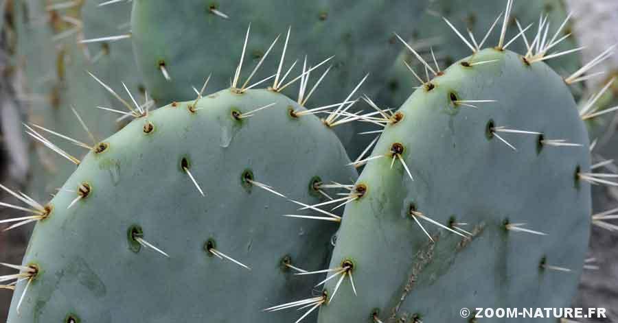epine-cactuspano
