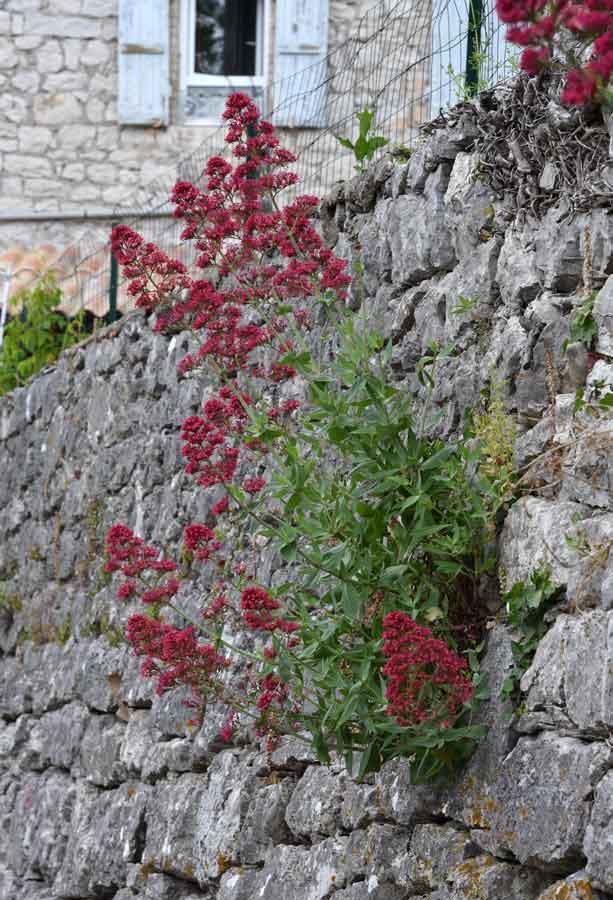 Touffe fleurie sur un vieux mur