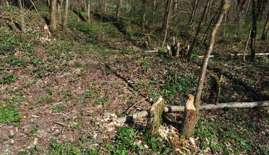 """Un """"chantier d'abattage"""" de castor qui a créé ainsi une clairière dans le boisement proche de la rivière ; en cela, le castor se comporte comme un architecte du paysage !"""