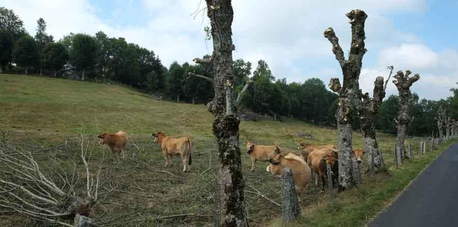 L'émondage consiste à couper régulièrement les grosses branches pour favoriser la croissance du tronc en diamètre