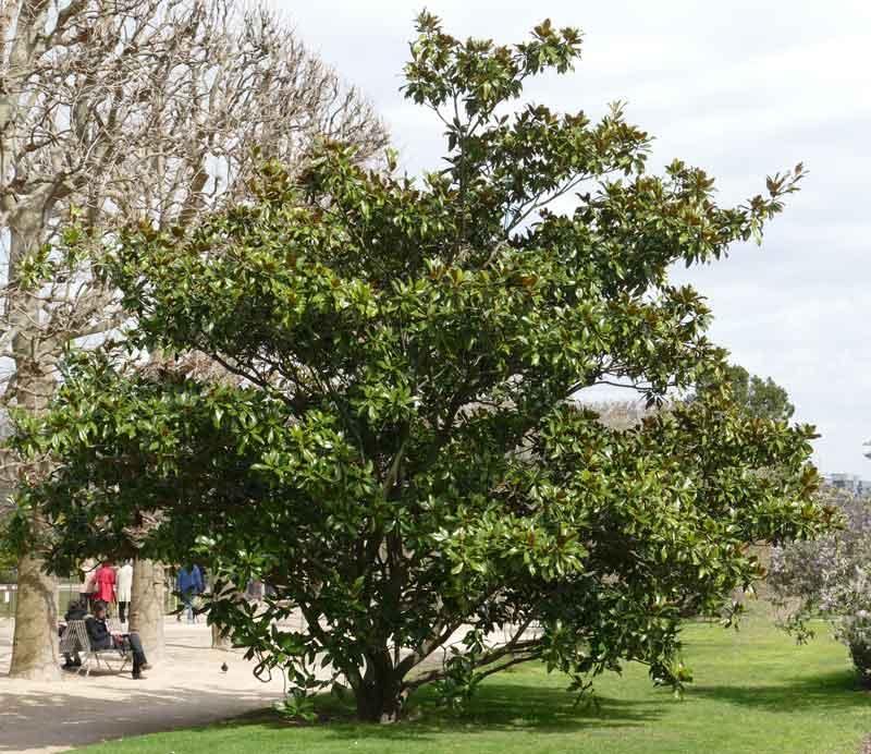 Magnolias For Ever Zoom Nature