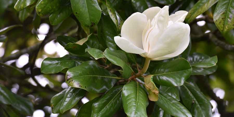 Magnolias For Ever Zoom Nature
